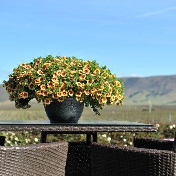 Calibrachoa Hula Gold from Dummen Orange - Year of the Calibrachoa - National Garden Bureau