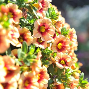 Calibrachoa Hula Gold from Dummen Orange - Year of the Calibrachoa - National Garden Bureau