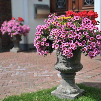 Calibrachoa Hula Soft Pink from Dummen Orange - Year of the Calibrachoa - National Garden Bureau