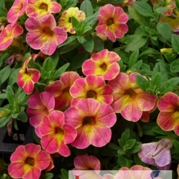 Calibrachoa Hybrida Chameleon Sunshine Berry from Jung Seed - Year of the Calibrachoa - National Garden Bureau