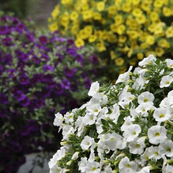 Calibrachoa Kabloom from Pan American Seed - Year of the Calibrachoa - National Garden Bureau