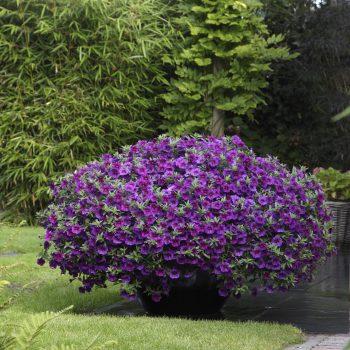 Calibrachoa Kabloom Deep Blue from Pan American Seed - Year of the Calibrachoa - National Garden Bureau