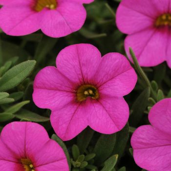 Calibrachoa Kabloom Deep Pink from Garden Trends - Year of the Calibrachoa - National Garden Bureau