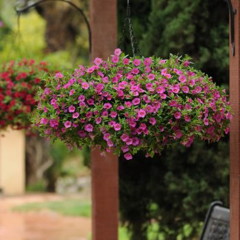 Calibrachoa Kabloom Deep Pink from Pan American Seed - Year of the Calibrachoa - National Garden Bureau
