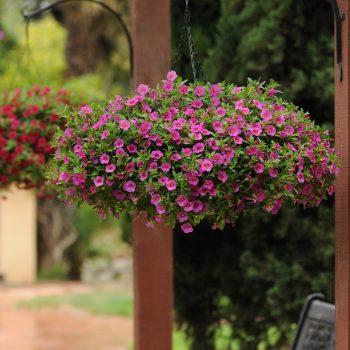 Calibrachoa Kabloom Deep Pink from Pan American Seed - Year of the Calibrachoa - National Garden Bureau