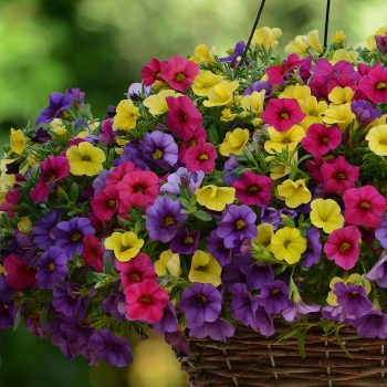 Calibrachoa Kabloom Denim Rose Yellow from Pan American Seed - Year of the Calibrachoa - National Garden Bureau