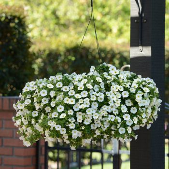 Calibrachoa Kabloom White from Garden Trends - Year of the Calibrachoa - National Garden Bureau