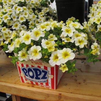 Calibrachoa Million Bells Butter Pop from Suntory - Year of the Calibrachoa - National Garden Bureau