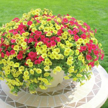 Calibrachoa Million Bells Combo from Suntory - Year of the Calibrachoa - National Garden Bureau