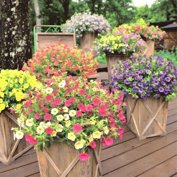 Calibrachoa Million Bells Combos from Suntory - Year of the Calibrachoa - National Garden Bureau