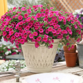 Calibrachoa Million Bells Compact Brilliant Pink from Suntory - Year of the Calibrachoa - National Garden Bureau