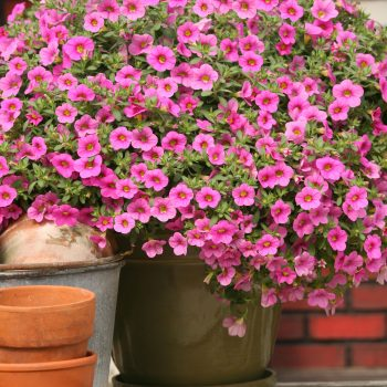 Calibrachoa Million Bells Compact Pink from Suntory - Year of the Calibrachoa - National Garden Bureau