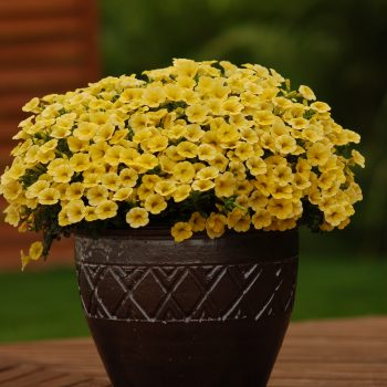 Calibrachoa Million Bells Compact Yellow from Suntory - Year of the Calibrachoa - National Garden Bureau