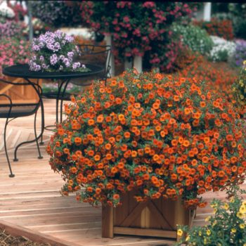 Calibrachoa Million Bells Crackling Fire from Suntory - Year of the Calibrachoa - National Garden Bureau