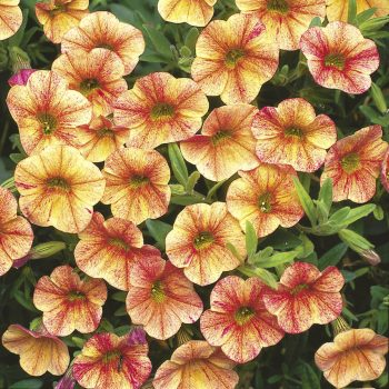 Calibrachoa Million Bells Terra Cotta from Suntory - Year of the Calibrachoa - National Garden Bureau