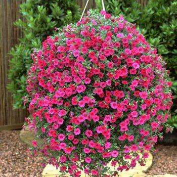 Calibrachoa Million Bells Trailing Magenta from Suntory - Year of the Calibrachoa - National Garden Bureau