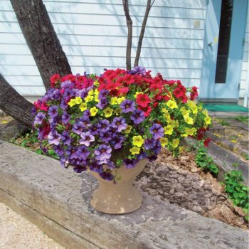 Calibrachoa Million Bells Trailing Mix from Suntory - Year of the Calibrachoa - National Garden Bureau
