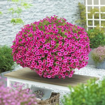 Calibrachoa Million Bells Trailing Pink from Suntory - Year of the Calibrachoa - National Garden Bureau