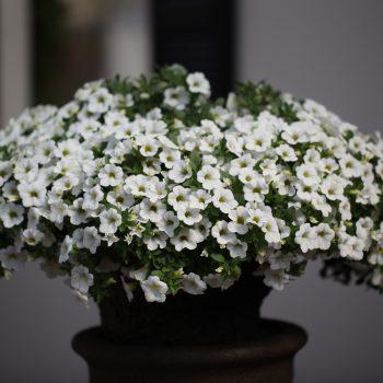 Calibrachoa Million Bells Trailing White from Dummen Orange - Year of the Calibrachoa - National Garden Bureau