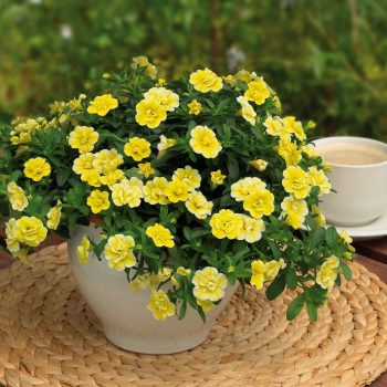 Calibrachoa Mini Famous Double Compact Lemon from Selecta One - Year of the Calibrachoa - National Garden Bureau