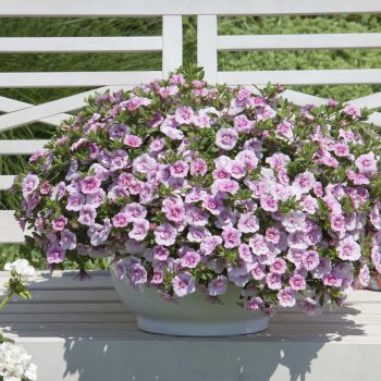 Calibrachoa Mini Famous Double Compact Pink from Selecta One - Year of the Calibrachoa - National Garden Bureau