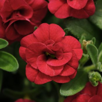 Calibrachoa Mini Famous Double Compact Red from Selecta One - Year of the Calibrachoa - National Garden Bureau