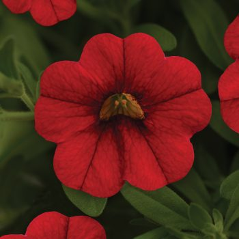 Calibrachoa Mini Famous Neo Vampire from Selecta One - Year of the Calibrachoa - National Garden Bureau