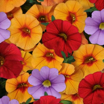 Calibrachoa Mix Masters Laguna Beach (Cabaret Lavender, Cabaret Bright Red, Cabaret Can-Can Apricot) from Ball Flora Plant - Year of the Calibrachoa - National Garden Bureau