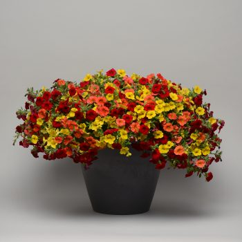 Calibrachoa Mix Masters Tropicali (Cabaret Orange, Cabaret Deep Yellow, Cabaret Bright Red) from Ball Flora Plant - Year of the Calibrachoa - National Garden Bureau