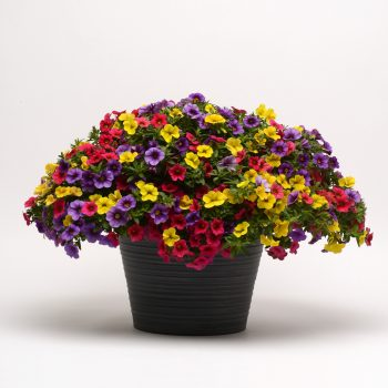 Calibrachoa Paradise Island from GardenTrends - Year of the Calibrachoa - National Garden Bureau
