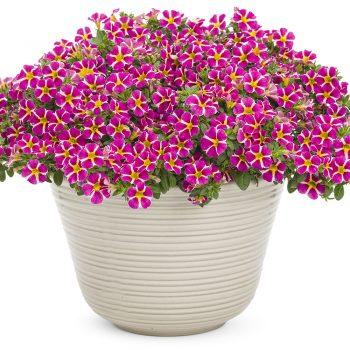 Calibrachoa Superbells Rising Star from Proven Winners - Year of the Calibrachoa - National Garden Bureau
