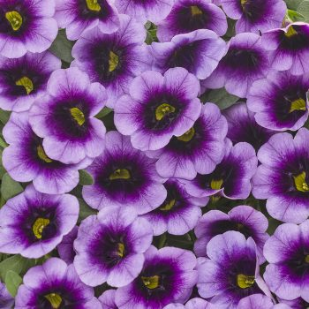 Calibrachoa Superbells Blue Moon Punch by Proven Winners - Year of the Calibrachoa - National Garden Bureau