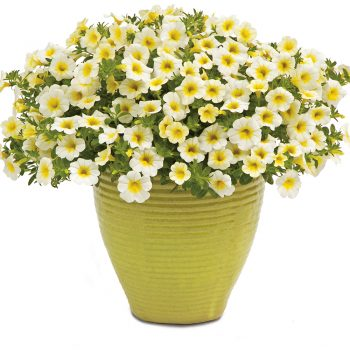 Calibrachoa Superbells Over Easy by Proven Winners - Year of the Calibrachoa - National Garden Bureau