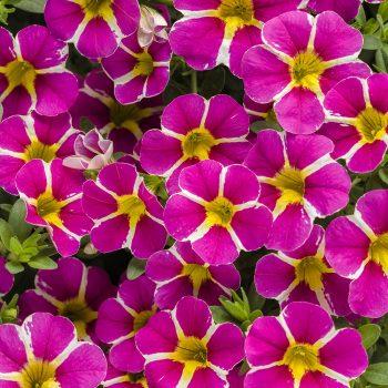 Calibrachoa Superbells Rising Star by Proven Winners - Year of the Calibrachoa - National Garden Bureau