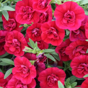 Calibrachoa Superbells Double Ruby from Proven Winners - Year of the Calibrachoa - National Garden Bureau