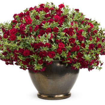 Calibrachoa Superbells Double Ruby from Proven Winners - Year of the Calibrachoa - National Garden Bureau