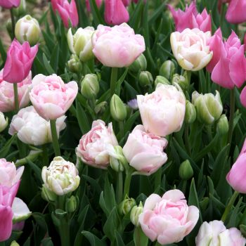 Tulip Angelique Mariette from Brent and Becky's - Year of the Tulip - National Garden Bureau