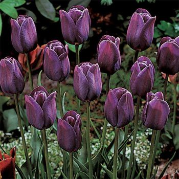 Tulip Bleu Aimable from Jung Seed - Year of the Tulip - National Garden Bureau