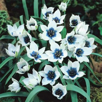 Tulip Blue Star from Jung Seed - Year of the Tulip - National Garden Bureau