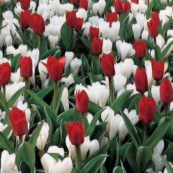 Tulip Fire & Ice Collection from Jung Seed - Year of the Tulip - National Garden Bureau