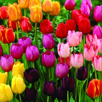 Tulip Hybrida Jungs Rainbow Parade Mix from JungSeed - Year of the Tulip - National Garden Bureau