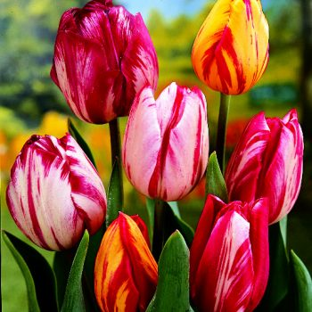 Tulip Hybrida Rembrandt Style Mix from Jung Seed - Year of the Tulip - National Garden Bureau