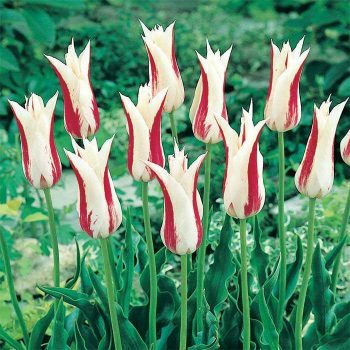 Tulip Marilyn from Jung Seed - Year of the Tulip - National Garden Bureau