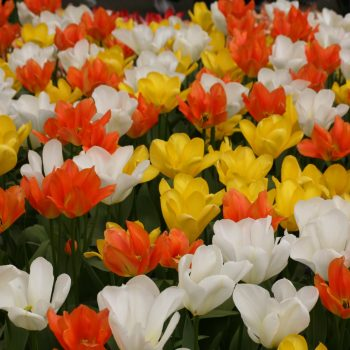 Tulip Orange Emperor Candella Purissima from Brent and Becky's - Year of the Tulip - National Garden Bureau
