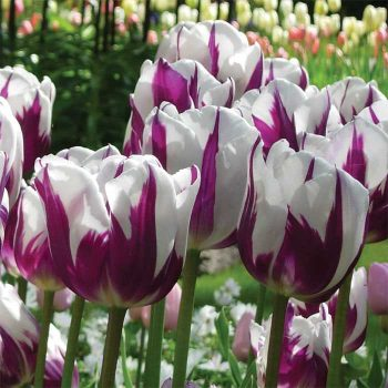 Tulip Zurel from Jung Seed - Year of the Tulip - National Garden Bureau