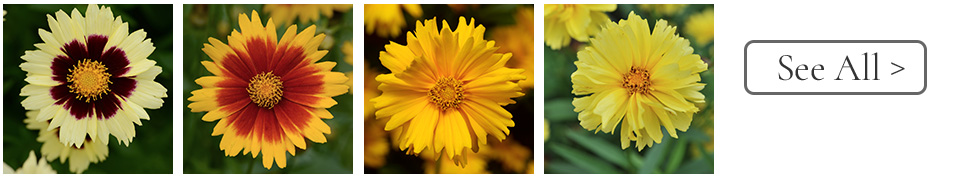 Year of the Coreopsis