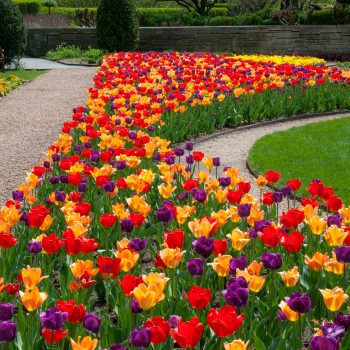 Blend Rainbow Coalition from Colorblends Wholesale Flowerbulbs - Year of the Tulip - National Garden Bureau