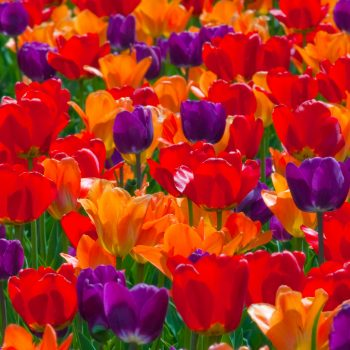 Blend Rainbow-Coalition from Colorblends Wholesale Flowerbulbs - Year of the Tulip - National Garden Bureau