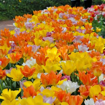 Tulip Darwin Hybrid Blend Prosecco from Colorblends Wholesale Flowerbulbs - Year of the Tulip - National Garden Bureau