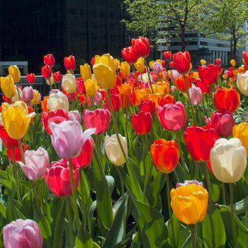 Tulip Darwin Hybrid Blend Big Ups from Colorblends Wholesale Flowerbulbs - Year of the Tulip - National Garden Bureau